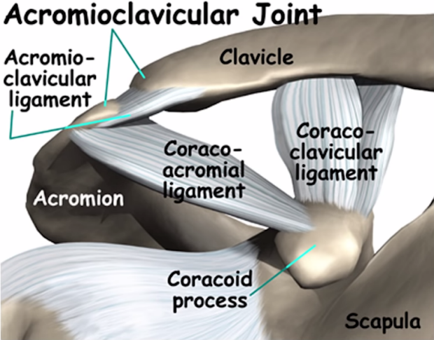 Acromioclavicular joint anatomy.