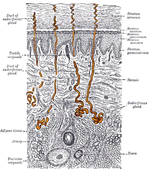 Sweat gland anatomy