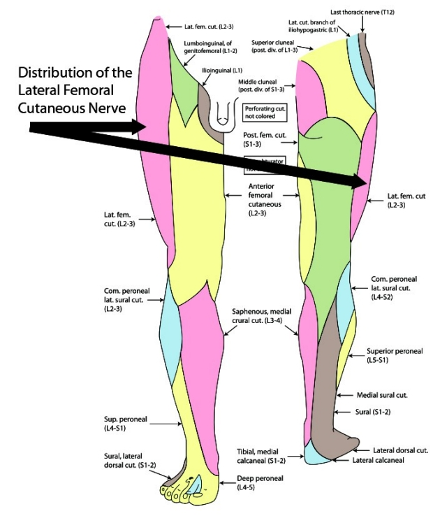 distribution of lateral femoral cutaneous nerve