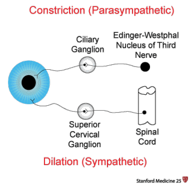 """Pupil Physiology: Constriction (Parasympathetic), Dilation (Sympathetic), Ciliary Ganglion, Superios Cervical Ganglion, Edinger-Westphal Nucleus of the Third Nerve"